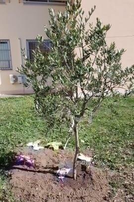L'albero di ulivo del Giardino