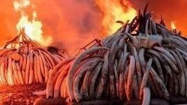 Il rogo di 100 t di zanne d'elefante in Kenya per combattere i traffico illegale di avorio