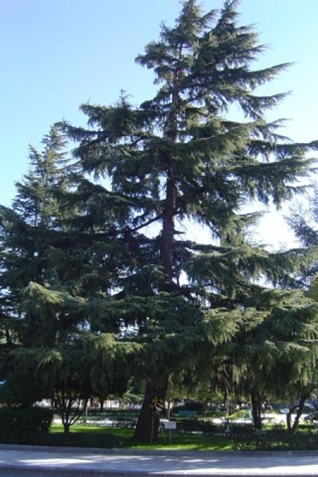 L'enorme cedro della piazza dei Vespri con ai piedi la targa